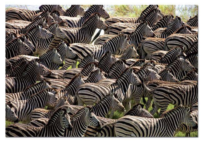 14138 Educa Puzzle Herd Of Zebras 500 Parça Puzzle